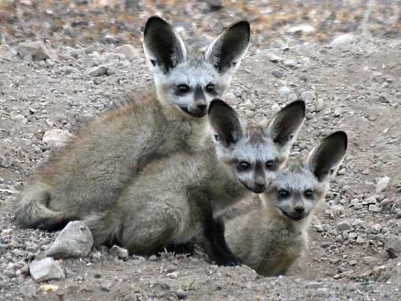 Les animaux, c'est rigolo Bat-eared-foxes_rctb-9095b