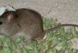 Íme első emlős, amelyet hivatalosan is kipusztított a klímaváltozás