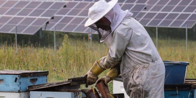 A napelemfarmok akár méztermelők is lehetnek