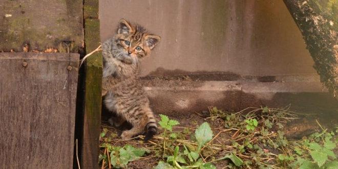 Balatonfenyves: vadmacskákat engednek vissza a szabadba