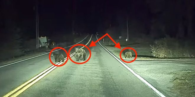 Tesla: Medvecsaládot mentett meg az Autopilot (videó)