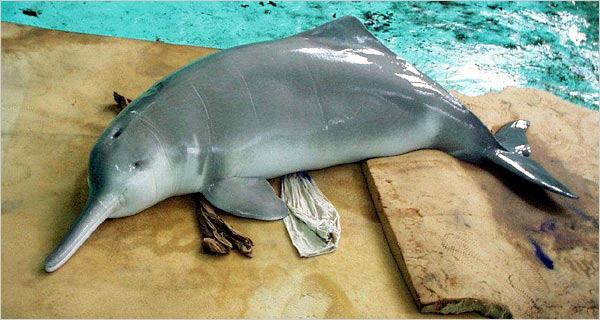 folyami delfin