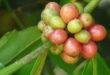Kihalás szélén a kávé vadon élő fajtái